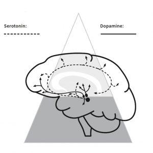 dopain serotonin in the brain futureofleadership leadership quest