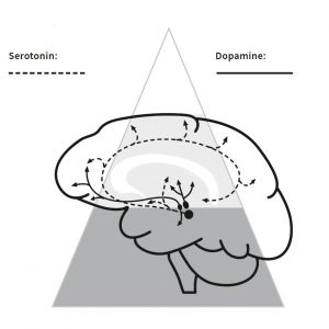 dopain serotonin in the brain futureofleadership leadership quest